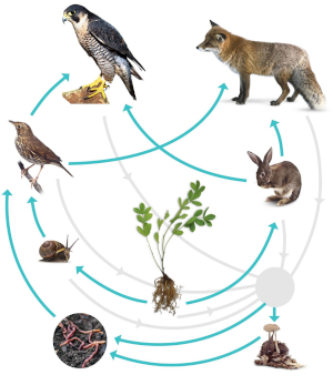 an example food web graph between species, a directed graph